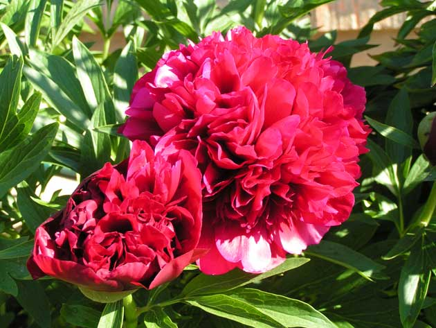 Пион лекарственный Рубра Плена - Paeonia officinalis Rubra Plena